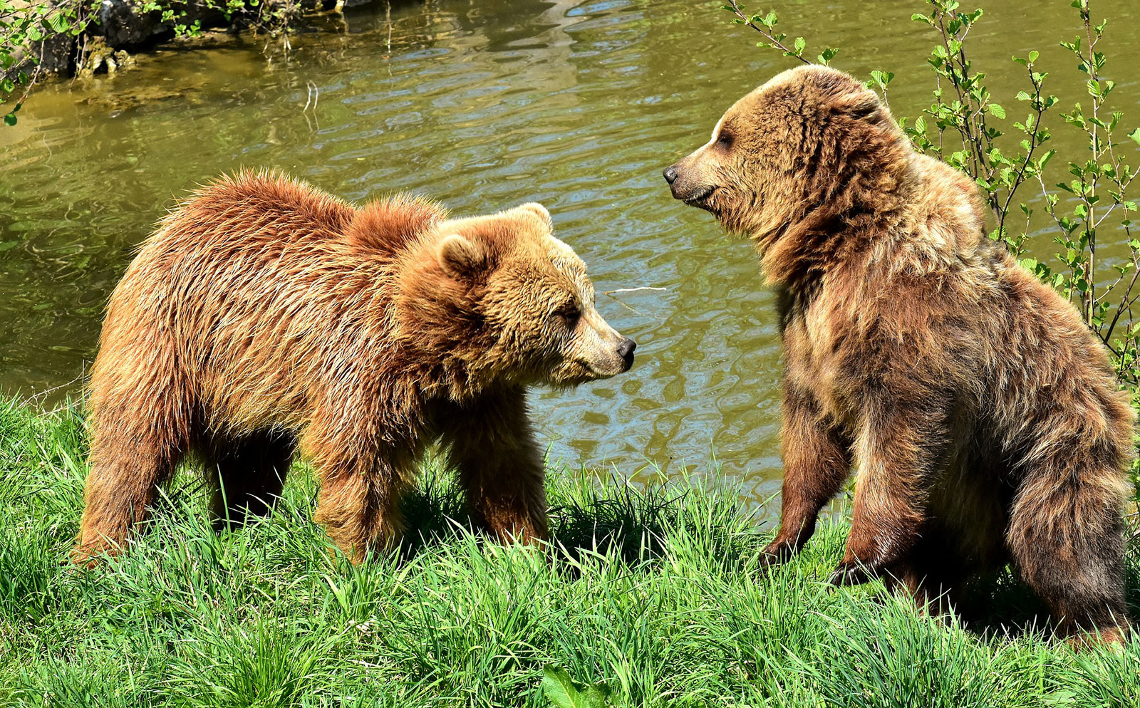 european-brown-bear-3366190_1920