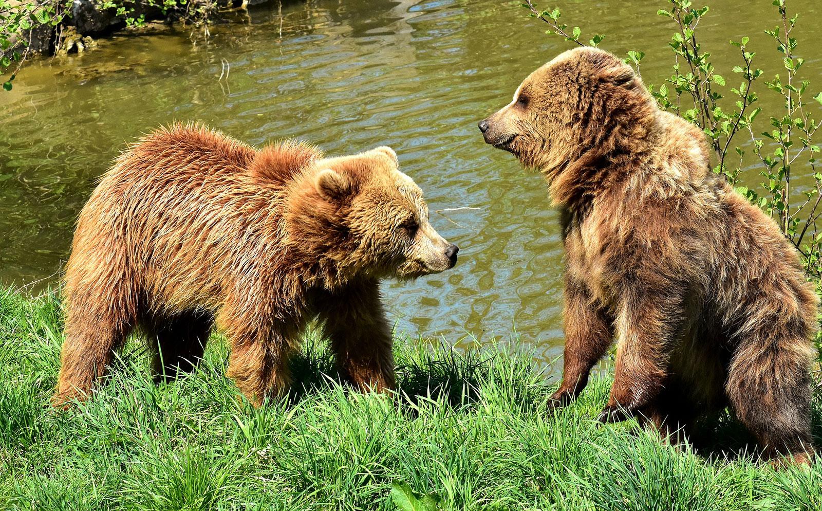 european-brown-bear-3366190_1920